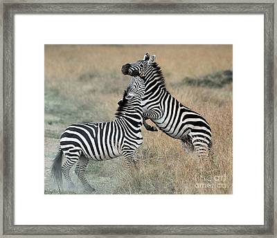 Zebras Fighting Framed Print by Alan Clifford