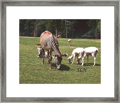 Zebra's Grazing Framed Print by Lee Hartsell