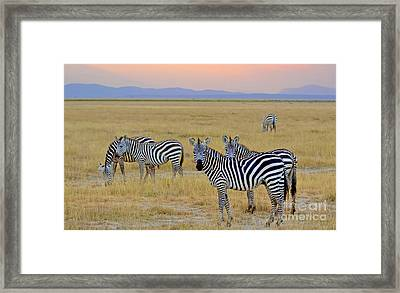 Zebras In The Morning Framed Print by Pravine Chester