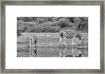 Zebras Framed Print by Lynn Bolt