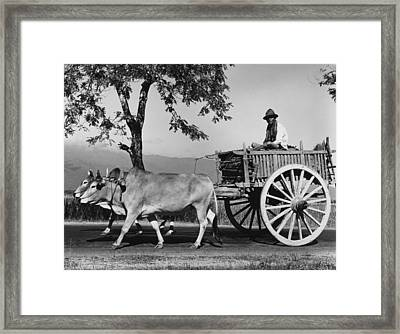 Zebu Cart Framed Print by Richard Harrington