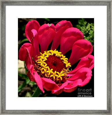 Zinna Photo Framed Print by M C Sturman