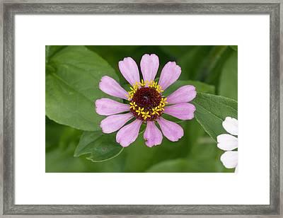 Zinnia Elegans Flower Framed Print