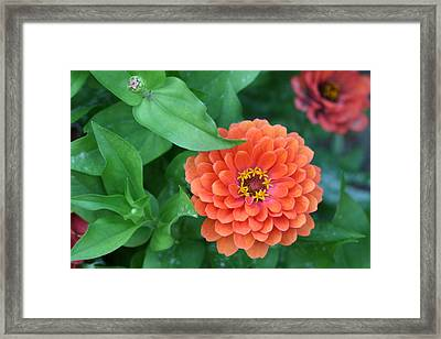 Zinnia Flower Stages Of Life Framed Print by Bonnie Boden