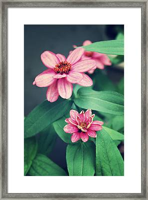 Zinnias Framed Print by Cathie Tyler