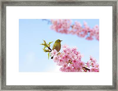 Zosterops Japonicus Framed Print by Jim Mayes