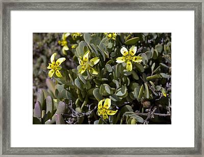 Zygophyllum Cordifolium Flowers Framed Print by Bob Gibbons