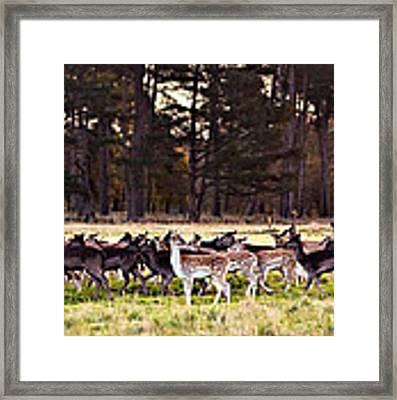 Deer In The Phoenix Park - Dublin Framed Print by Barry O Carroll