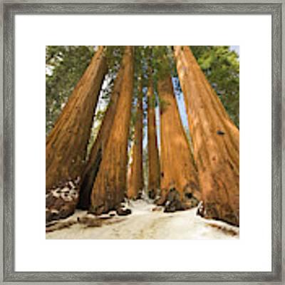 Giant Sequoias Sequoia N P Framed Print by Yva Momatiuk John Eastcott