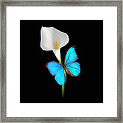Morpho On Calla Framed Print by David Armstrong