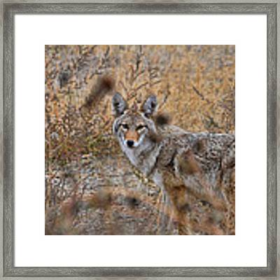 Coyote Eyes Framed Print by David Armstrong