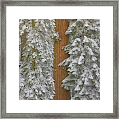 Giant Sequoias And Snow  Framed Print by Yva Momatiuk John Eastcott