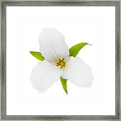 White Trillium Flower  Framed Print by Elena Elisseeva