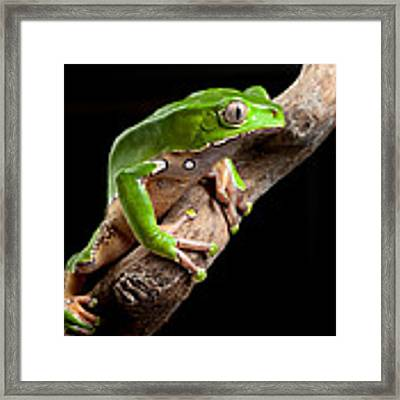 Green Tree Frog Amazon Rain Forest Framed Print
