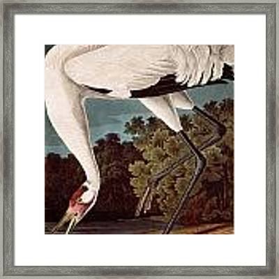 Whooping Crane Framed Print by Celestial Images