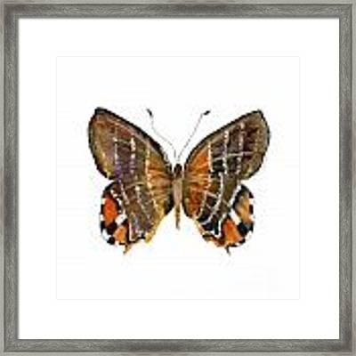 60 Euselasia Butterfly Framed Print by Amy Kirkpatrick