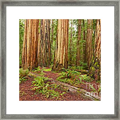 Ancient Forest - The Massive Giant Redwoods Sequoia Sempervirens In Redwood National Park. Framed Print
