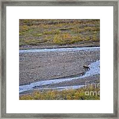 Bear In Alaska Framed Print by Kate Avery
