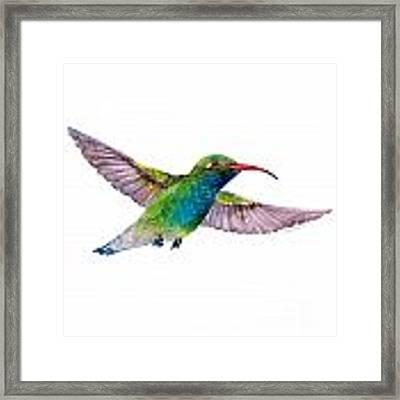 Broad Billed Hummingbird Framed Print by Amy Kirkpatrick