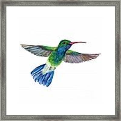 Broadbilled Fan Tail Hummingbird Framed Print by Amy Kirkpatrick