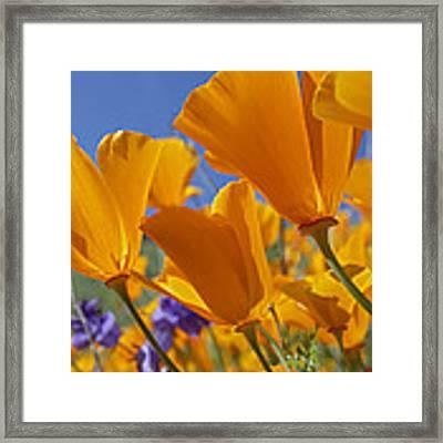 California Poppy Eschscholzia Framed Print by Tim Fitzharris