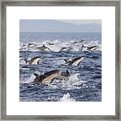Common Dolphins Surfacing San Diego Framed Print by Richard Herrmann