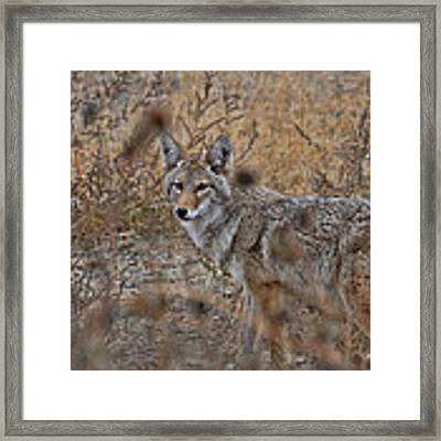 Coyote Framed Print by David Armstrong