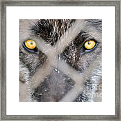 Eyes Behind The Fence Framed Print by Dan Friend