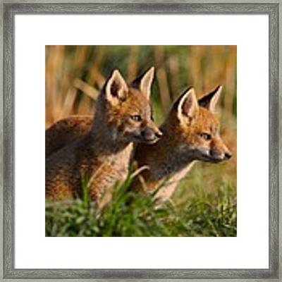 Fox Cubs At Sunrise Framed Print by William Jobes