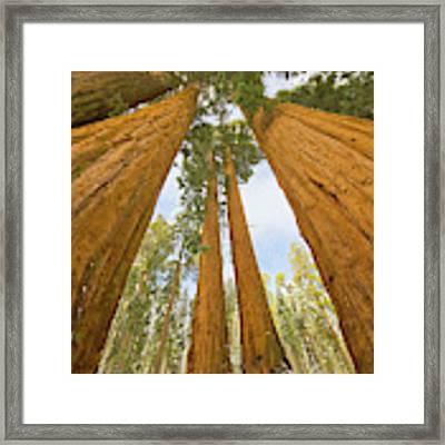 Giant Sequoias And First Snow Framed Print by Yva Momatiuk John Eastcott