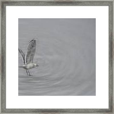 Gull Vortex Framed Print by Beth Sawickie