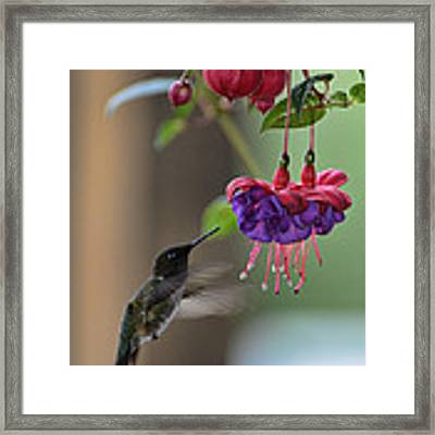 Hummingbird Framed Print by David Armstrong