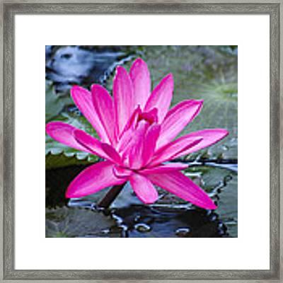 Lily Petals Framed Print by Carolyn Marshall