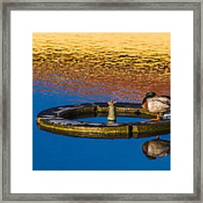 Male Mallard Duck Framed Print by Carolyn Marshall