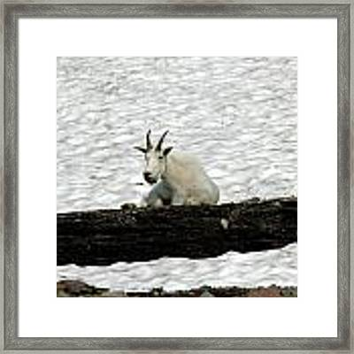 Mountain Goat Framed Print by David Armstrong
