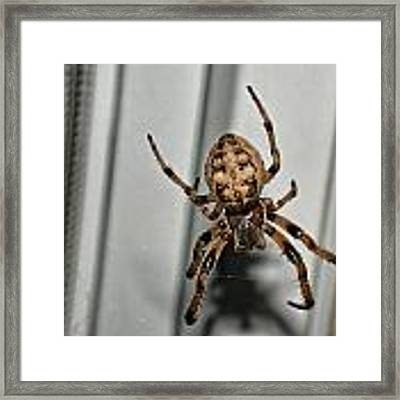 Orb Weaver Framed Print by David Armstrong