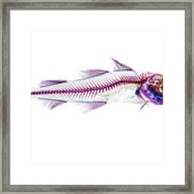 Pacific Cod Framed Print