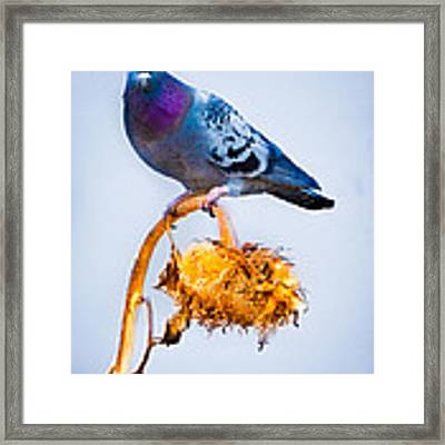 Pigeon On Sunflower Framed Print by Bob Orsillo