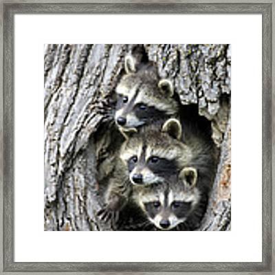 Raccoon Trio At Den Minnesota Framed Print by Jurgen and Christine Sohns