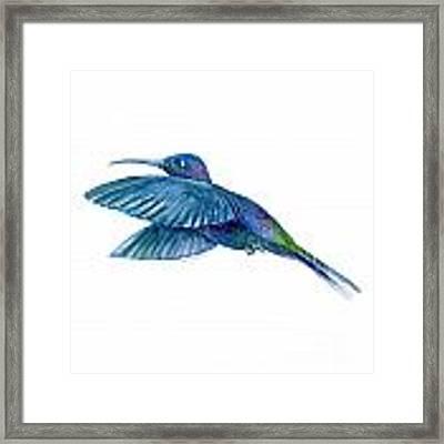 Sabrewing Hummingbird Framed Print by Amy Kirkpatrick