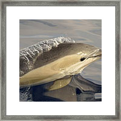 Short-beaked Common Dolphin Azores Framed Print by Malcolm Schuyl