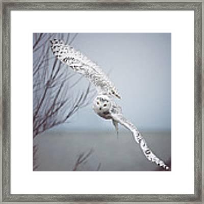 Snowy Owl In Flight Framed Print