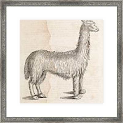South American Camelid Framed Print by Middle Temple Library