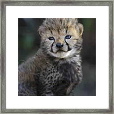 Very Young Cheetah Cub Maasai Mara Framed Print by Suzi Eszterhas