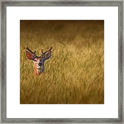 Whitetail Deer In Wheat Field Framed Print