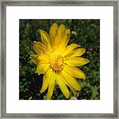 Wild Daisy Framed Print by David Armstrong