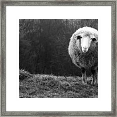 Wondering Sheep Framed Print by Ajven