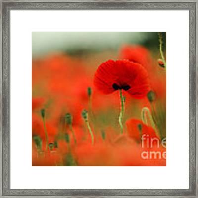 Poppy Flowers 01 Framed Print by Nailia Schwarz