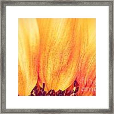 Sunflower II Framed Print by Silvia Ganora