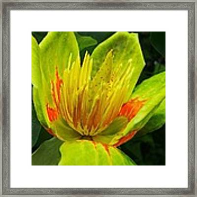 Tulip Tree Flower Framed Print by David Dehner